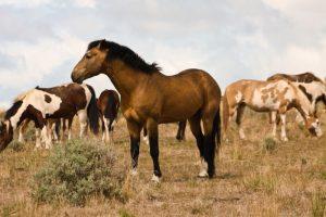Wild horses on Umatilla Reservation [Credit: Maggie Rothauge]