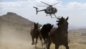 Horses rounded up by BLM Helicopter [Credit: Horses for Life Foundation]