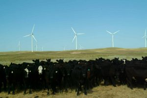 CattleAinsworthWindfarm