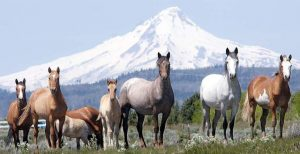 Wild Horses on Warm Springs Reservation (OR) [Credit: The Bulletin]