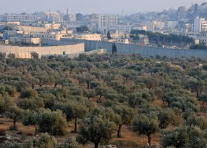 Palestinian olive fields next to Israeli settlement.