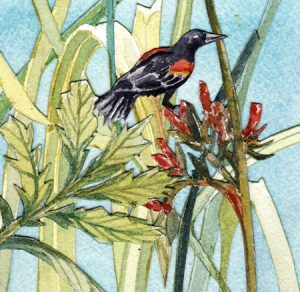 Red-Winged Blackbird, Lingby Sedge, and Pacific Silverweed