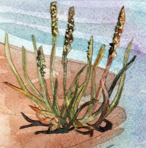Seaside Plantain