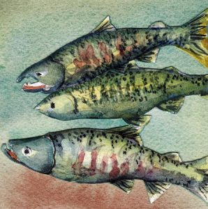 Adult Chum Salmon