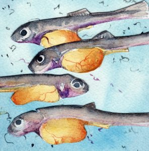 Chum Salmon Alevins