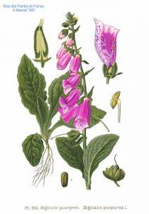 Amédée Masclef, Atlas des plantes de France. 1891