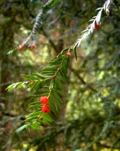 By Jason Hollinger - Pacific Yew, CC BY 2.0, https://commons.wikimedia.org/w/index.php?curid=9693284