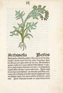Illustration and accompanying description of Artemisia spp. in manuscript Herbarious latinus: Herbarious seu de virtutibus herbarum 1485
