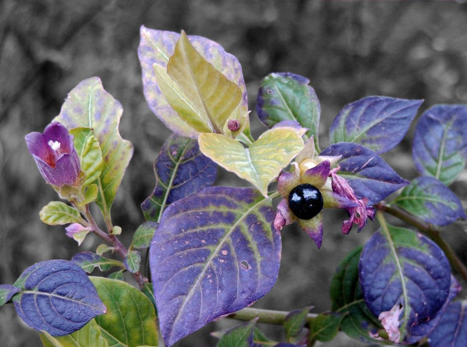 Deadly Nightshade Not So Deadly After All