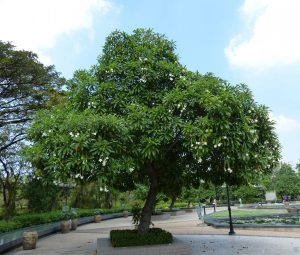 This tree grows to a height of 6-15 meters, and produces a small mango like fruit. Inside this fruit is a kernel containing the seeds of the plant [Gaillard., et al 2004]. The kernel is about 1.5-2 cm, and contains high concentrations of cerberin [Gaillard., et al 2004].