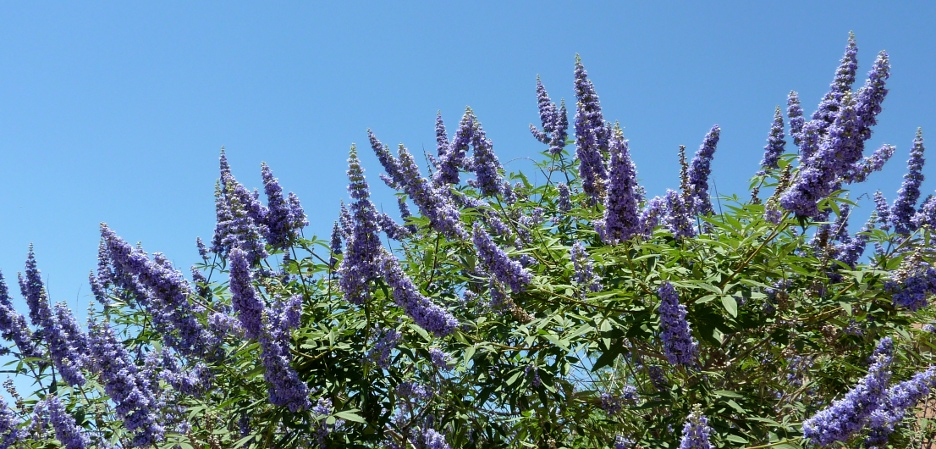 Chaste Tree: Mother Nature's Menstruation Remedy  