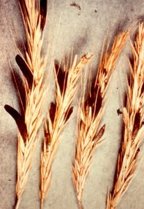 Rye infected with ergot (Scott Nelson 2014)