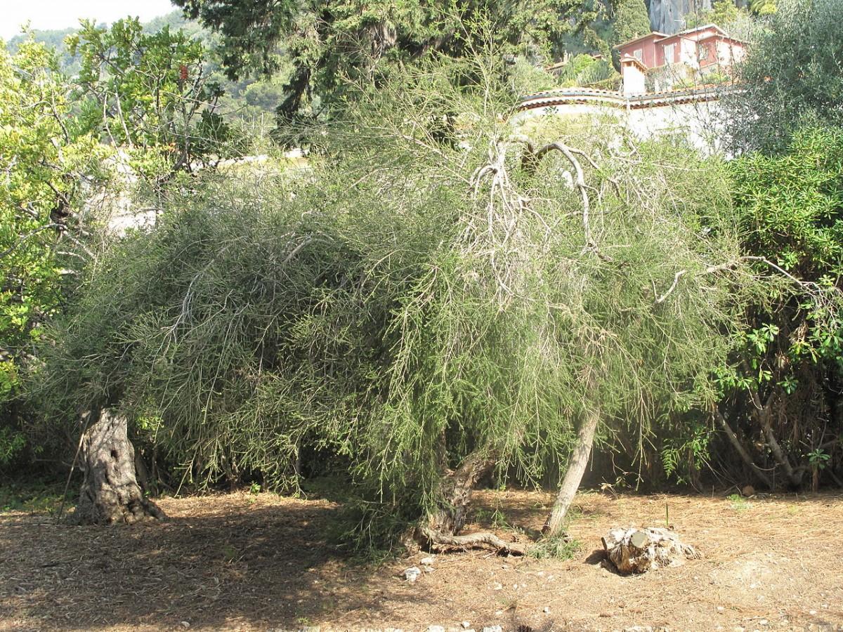 Melaleuca alternifolia tree. Photo by Tangopaso (Own work) [Public domain], via Wikimedia Commons