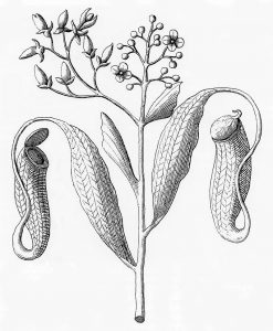 Plukenet's drawing of N. distillatoria from his Almagestum Botanicum of 1696.