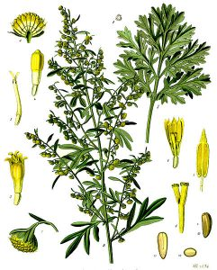 Absinthium botanical drawing