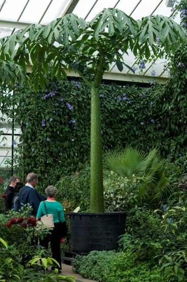 Amorphophallus titanum at Kew Gardens in London