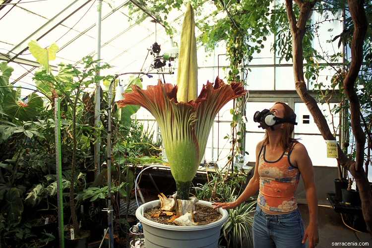 Amorphophallus titanum with an appropriately clad admirer.  (Photo by Barry Rice. 2005.)