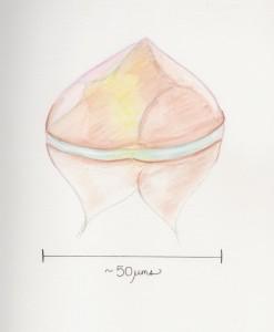 Protoperidinium Leonis Watercolor