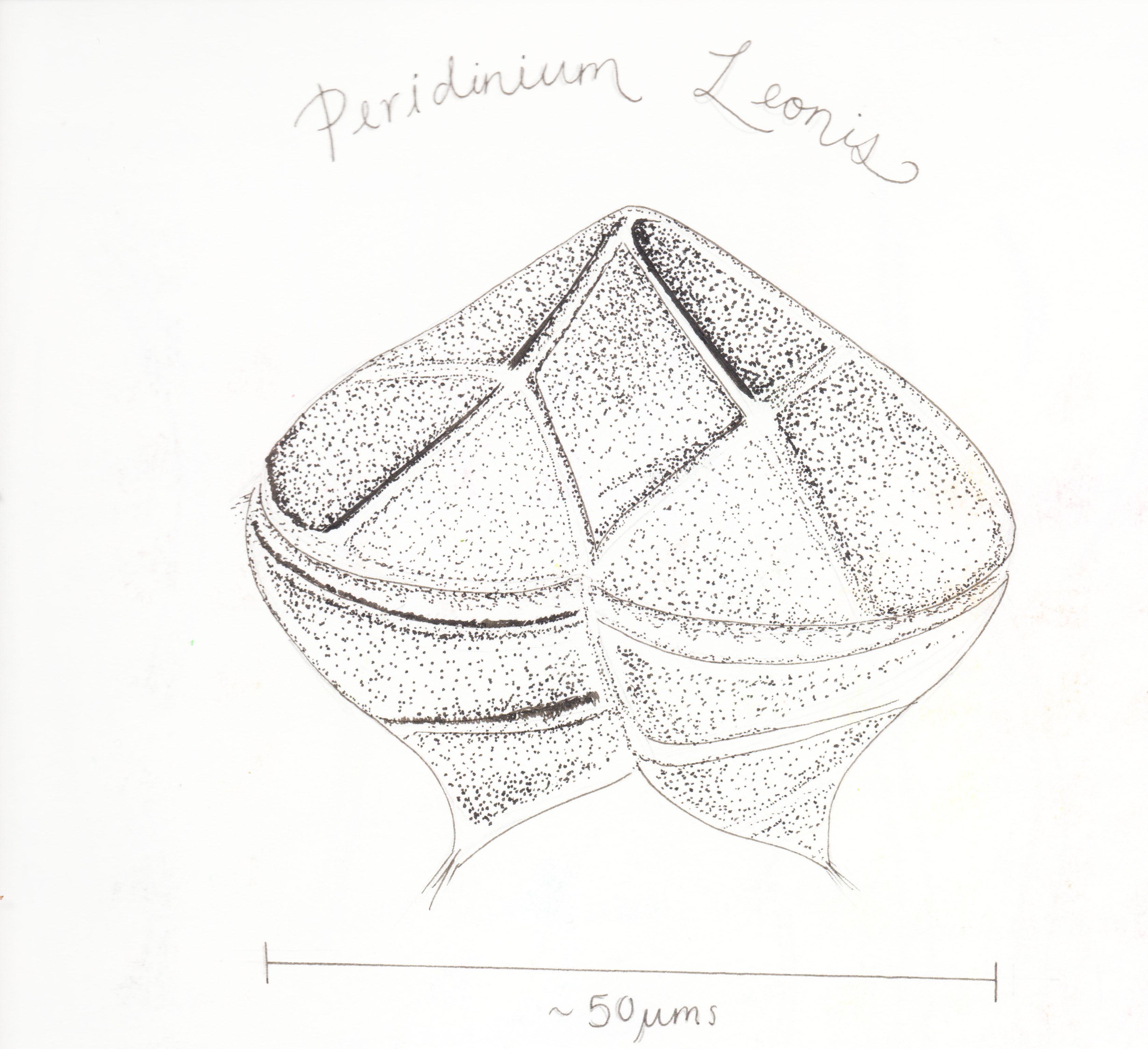 Protoperidinium Leonis Stipple edited